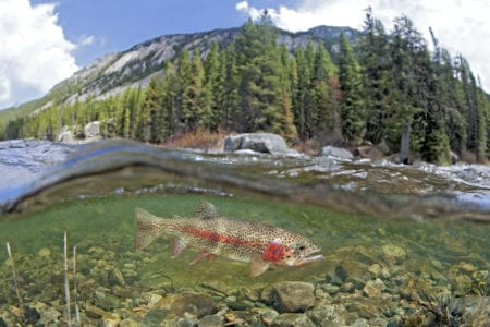 Fly Fishing in Yellowstone River